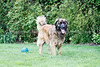 Snapshot gallery of images of a Leonberger. Images have been batch processed for display on the web.  Images Copyright © 2008 J. Andrew Towell All Rights Reserved. Please contact the copyright holder at troutstreaming@gmail.com to discuss any and all usage rights.