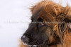 Snapshot gallery of images of a Leonberger. Images acquired as RAW files and have beenbatch processed for display on the web.  Images Copyright © 2008 J. Andrew Towell All Rights Reserved. Please contact the copyright holder at troutstreaming@gmail.com to discuss any and all usage rights.