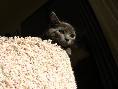 Lexie - Russian Blue Kitty