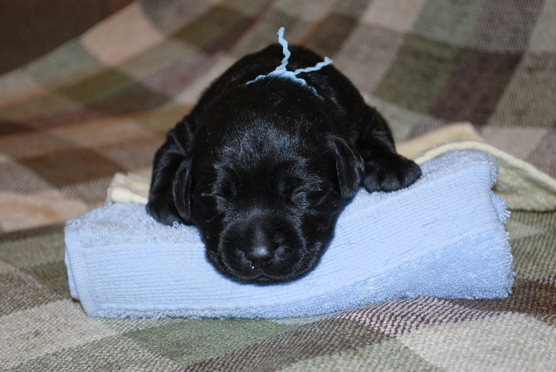 Lexis puppies-4