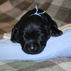 Lexis puppies-4