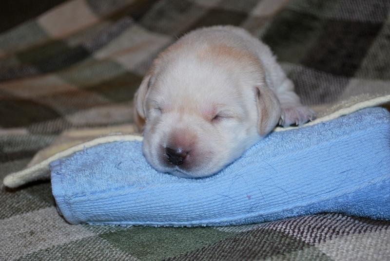 Lexis puppies-12