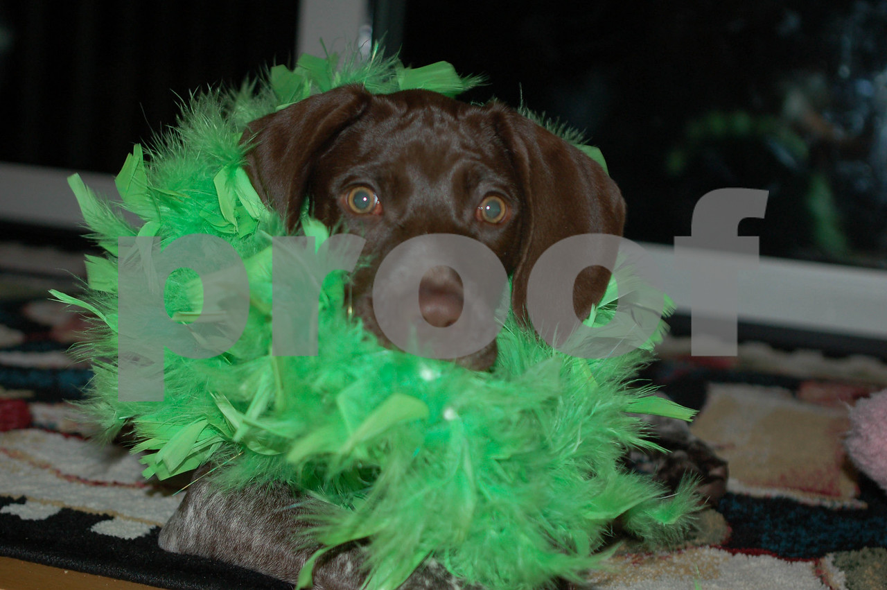 St Patrick's Day Puppy 2007
