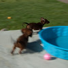 Little Bear chasing Roxie  around their little pool