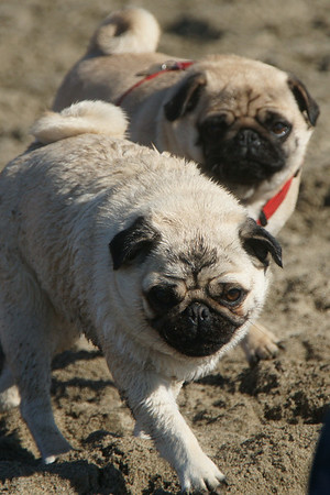 Little White Pugs Crissy field 01-31-09