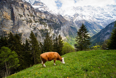 Cow Gimmelwald, Switzerland