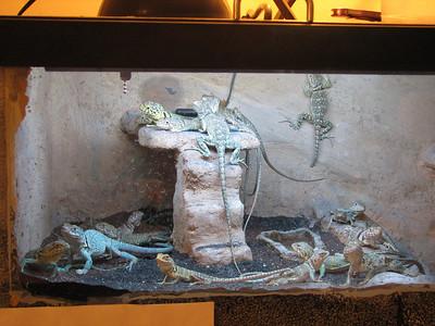 Lizard Menagerie