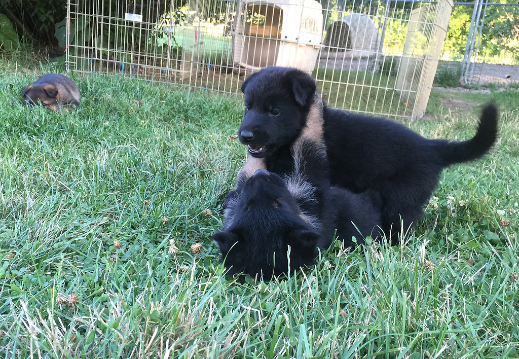 M litter pups at 4.5wks old