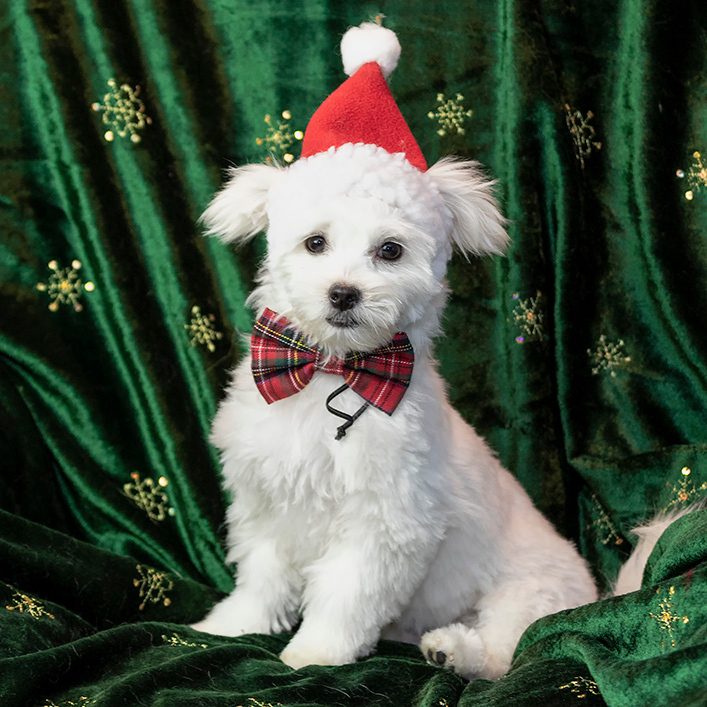 IMAGE: https://photos.smugmug.com/Pets/MALTESE-RESCUE-CALIFORNIA/i-29qw92m/0/65f83d47/O/JACK_8880.jpg