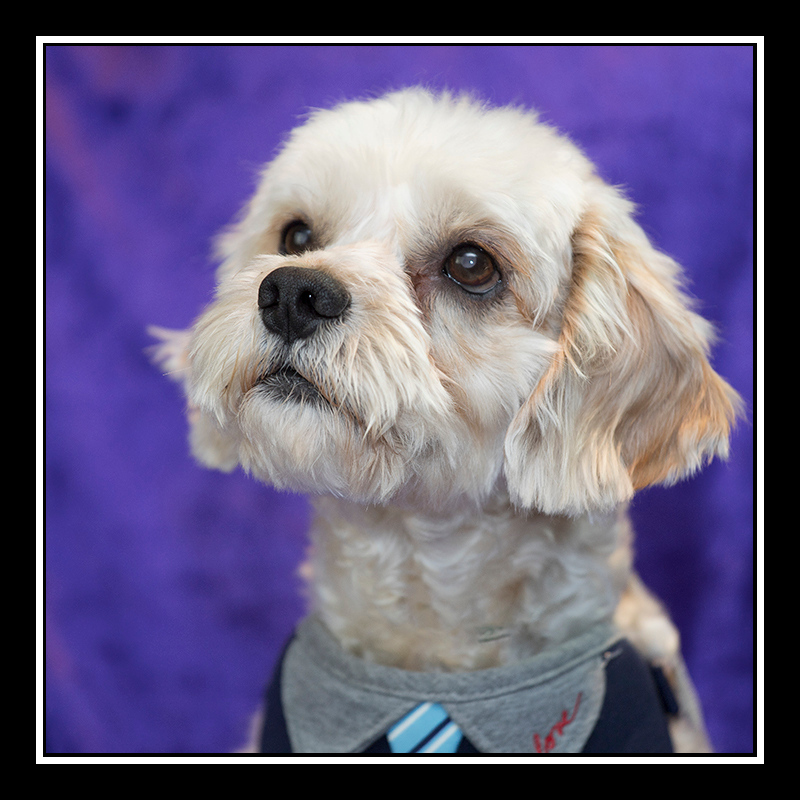 IMAGE: https://photos.smugmug.com/Pets/MALTESE-RESCUE-CALIFORNIA/i-3RWR2zK/0/6a90977a/O/Tyler_2326.jpg