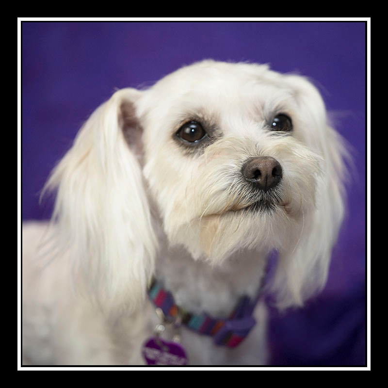 IMAGE: https://photos.smugmug.com/Pets/MALTESE-RESCUE-CALIFORNIA/i-3ncZ5kf/0/7cabcbd6/O/MONET_3301.jpg