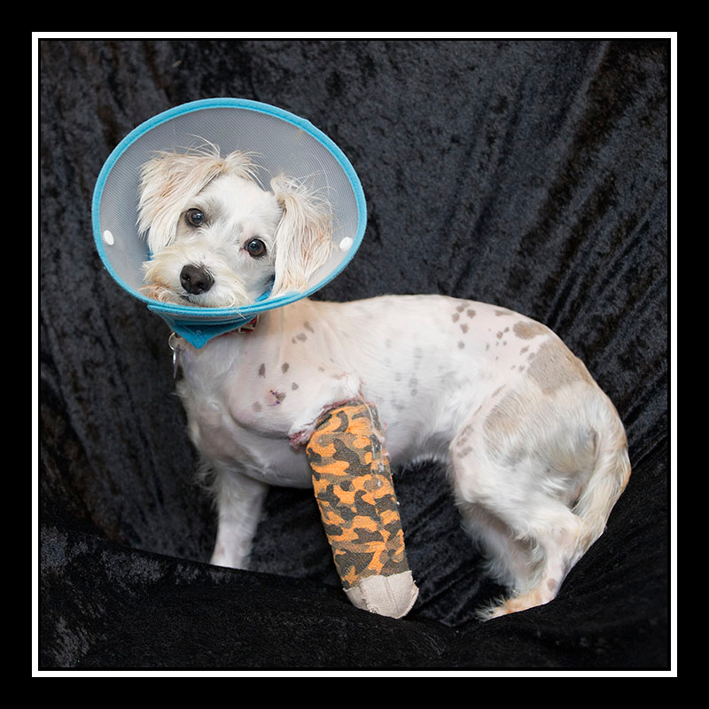 IMAGE: https://photos.smugmug.com/Pets/MALTESE-RESCUE-CALIFORNIA/i-97rjNDK/0/4ce9d2c7/O/BLANCA_3320.jpg