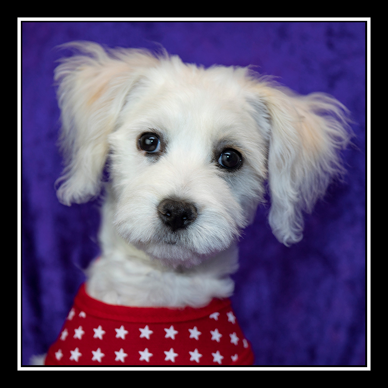 IMAGE: https://photos.smugmug.com/Pets/MALTESE-RESCUE-CALIFORNIA/i-9VXngP4/0/918f102a/O/ANGEL_5113.jpg
