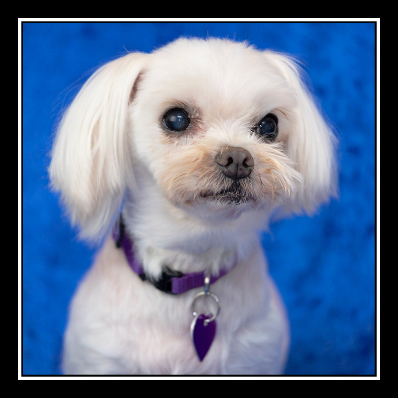 IMAGE: https://photos.smugmug.com/Pets/MALTESE-RESCUE-CALIFORNIA/i-BJG8ht5/0/bbf40bcf/O/SIA_5194.jpg