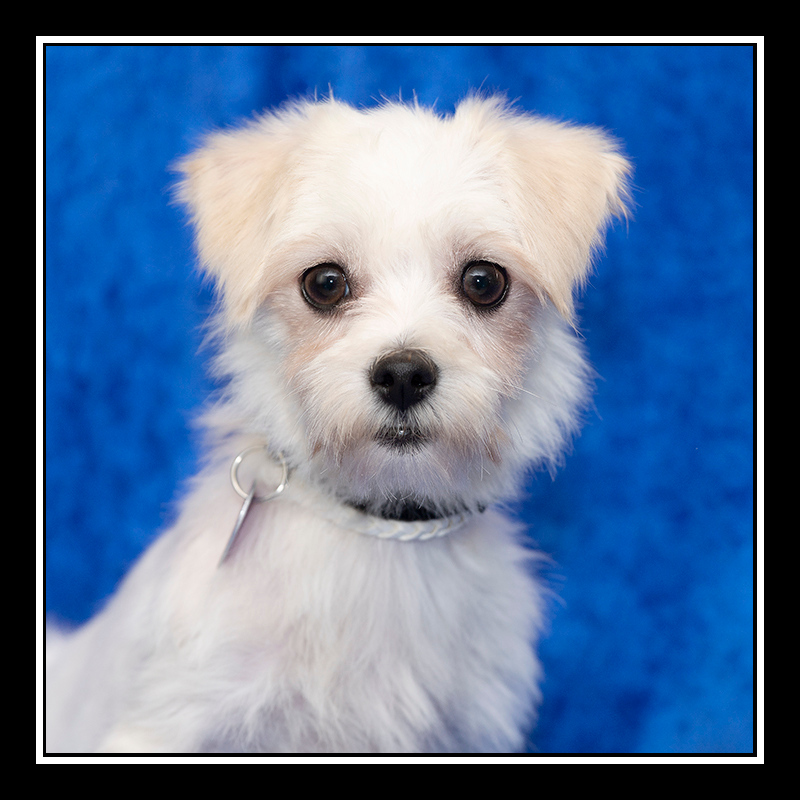 IMAGE: https://photos.smugmug.com/Pets/MALTESE-RESCUE-CALIFORNIA/i-BTqV9rH/0/1e1c5e85/O/MINA_5478.jpg