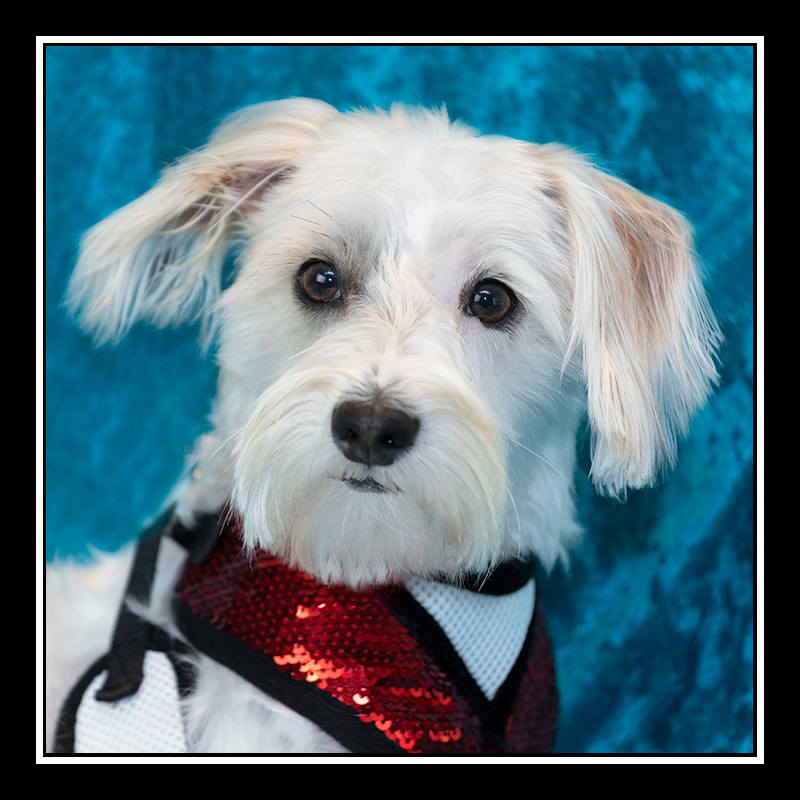 IMAGE: https://photos.smugmug.com/Pets/MALTESE-RESCUE-CALIFORNIA/i-D6bp59s/0/8e6b6696/O/BLANCA_5059.jpg
