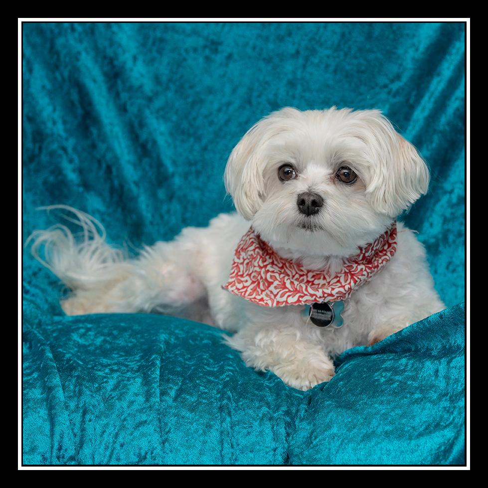 IMAGE: https://photos.smugmug.com/Pets/MALTESE-RESCUE-CALIFORNIA/i-Dkh22Kt/0/f6ef5e02/O/MOLLY%200146.jpg