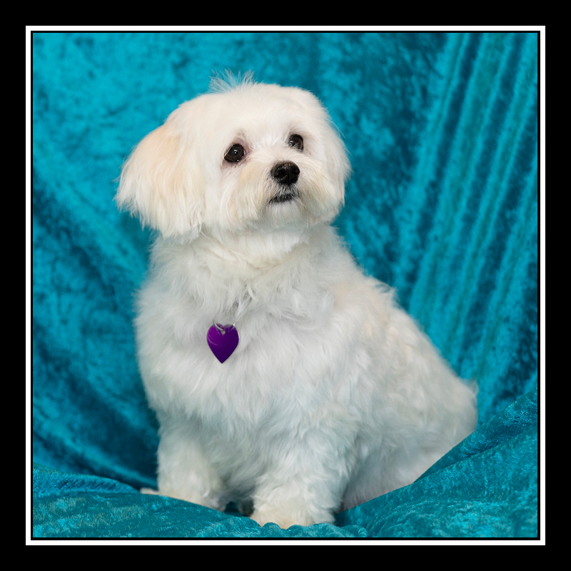 IMAGE: https://photos.smugmug.com/Pets/MALTESE-RESCUE-CALIFORNIA/i-JbbXLT3/0/27f41483/O/ANNA_5437.jpghttps://photos.smugmug.com/Pets/MALTESE-RESCUE-CALIFORNIA/i-JbbXLT3/0/27f41483/O/ANNA_5437.jpg