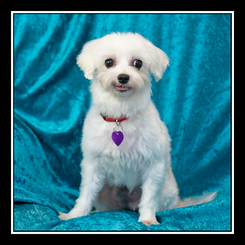IMAGE: https://photos.smugmug.com/Pets/MALTESE-RESCUE-CALIFORNIA/i-JjhWvp3/0/0348d59e/O/GRACE_5180.jpg