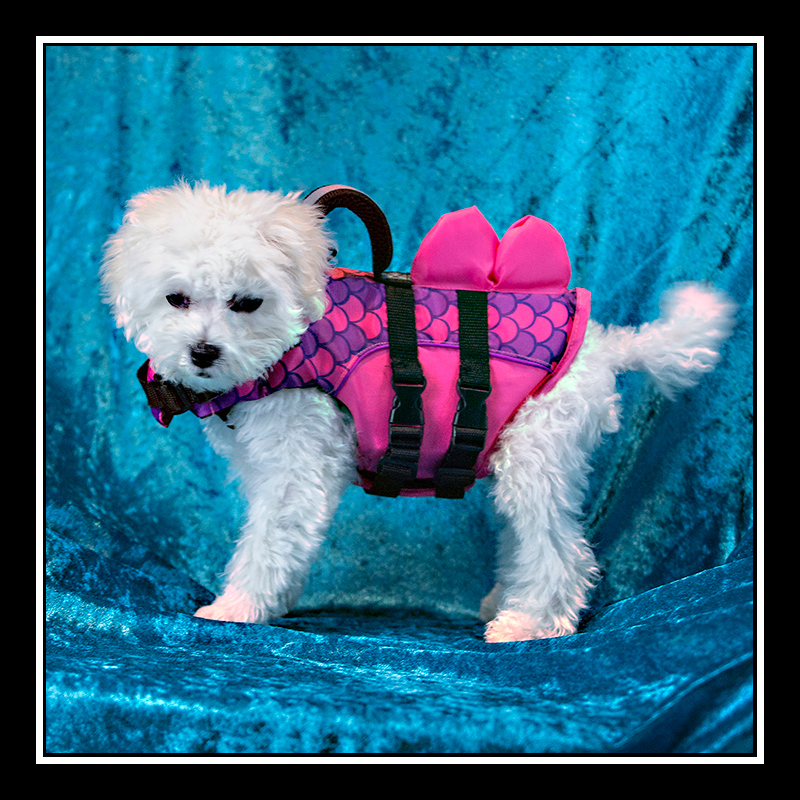 IMAGE: https://photos.smugmug.com/Pets/MALTESE-RESCUE-CALIFORNIA/i-Jt6FVGb/0/0c049085/O/Louie%20Standing_3877.jpg