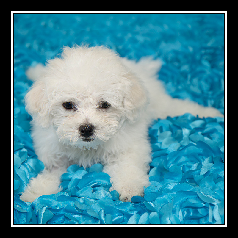 IMAGE: https://photos.smugmug.com/Pets/MALTESE-RESCUE-CALIFORNIA/i-KXBxmv9/0/c5ce90b1/O/LOUIE_3750.jpg