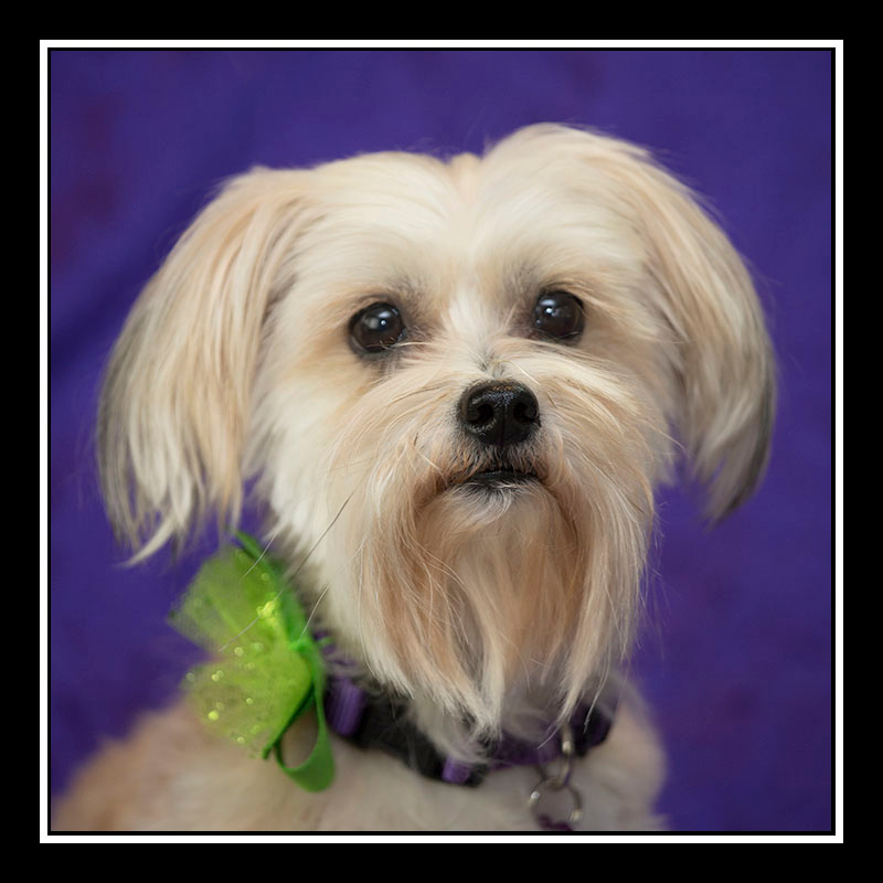 IMAGE: https://photos.smugmug.com/Pets/MALTESE-RESCUE-CALIFORNIA/i-N4Nv9zL/0/9fdff700/O/Sissy_3288.jpg