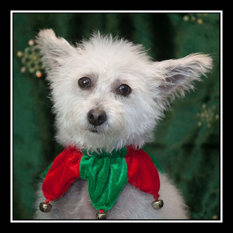 IMAGE: https://photos.smugmug.com/Pets/MALTESE-RESCUE-CALIFORNIA/i-RJQ9ZjF/0/bb6640b3/XL/LUCY_0773-XL.jpg