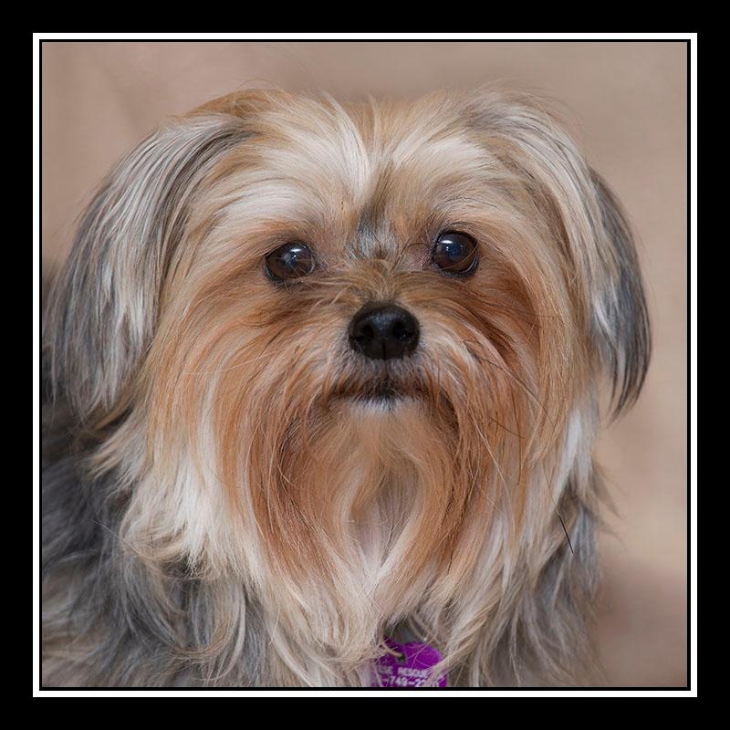IMAGE: https://photos.smugmug.com/Pets/MALTESE-RESCUE-CALIFORNIA/i-T9XvBqw/0/5a739c38/O/IZZY_3311.jpg
