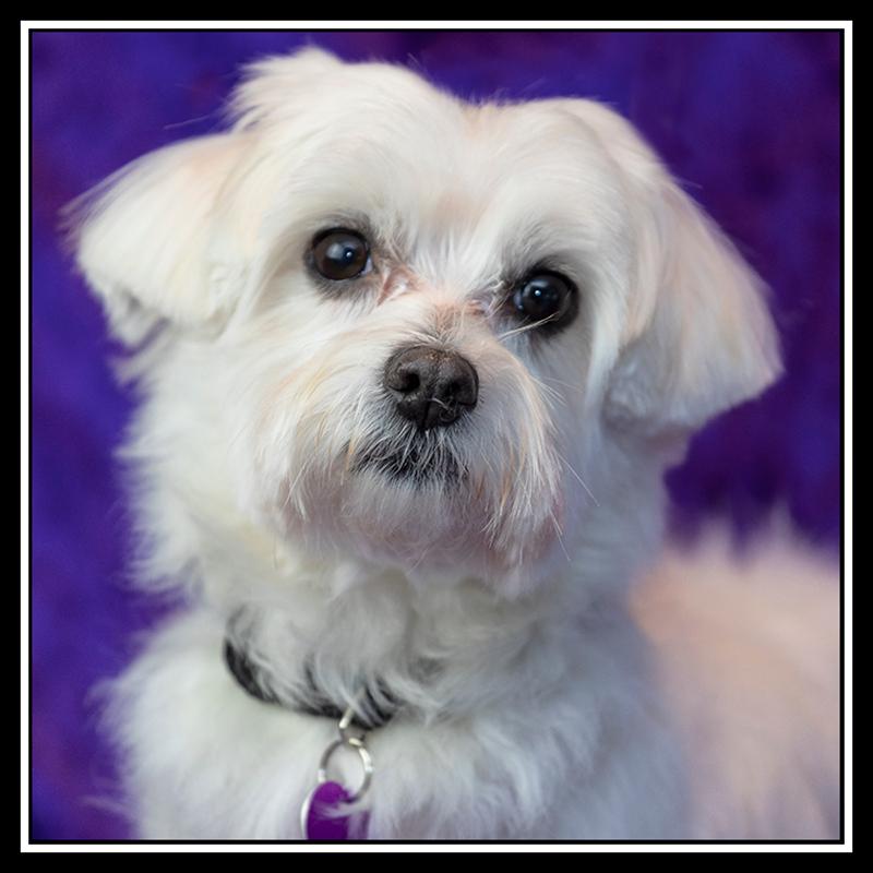 IMAGE: https://photos.smugmug.com/Pets/MALTESE-RESCUE-CALIFORNIA/i-TtZTQqN/0/29fd9601/O/RUBY%20-%2020181230_8069.jpg