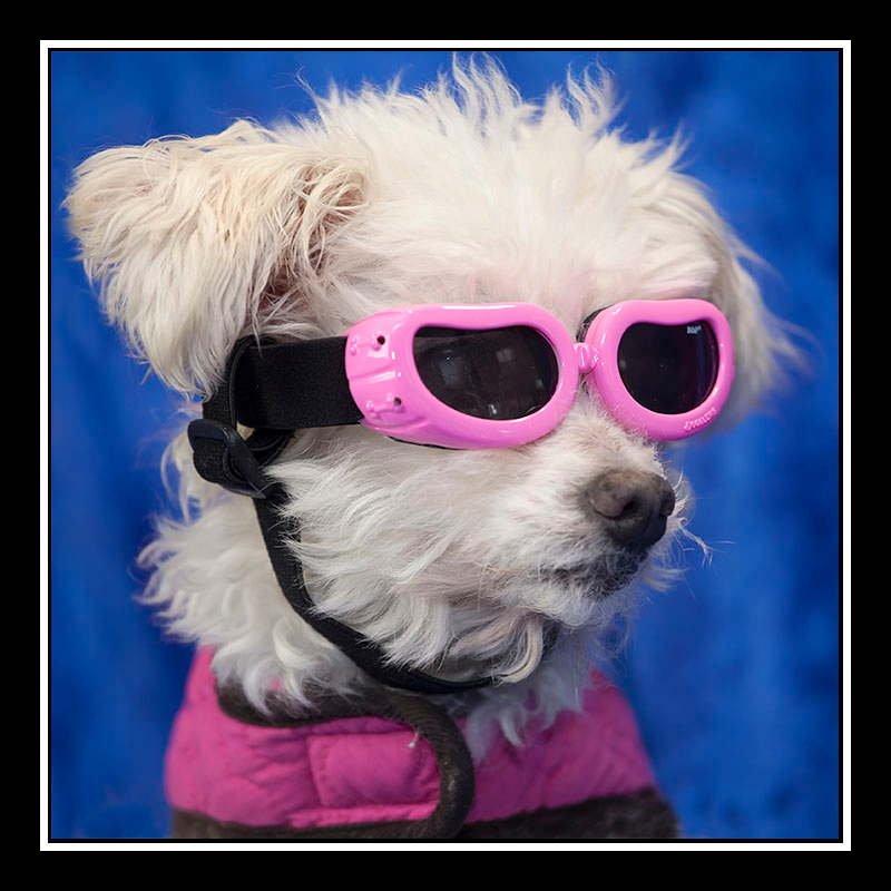 IMAGE: https://photos.smugmug.com/Pets/MALTESE-RESCUE-CALIFORNIA/i-ZjMWG9Q/0/c6d77d72/O/ELSIE_0733.jpg