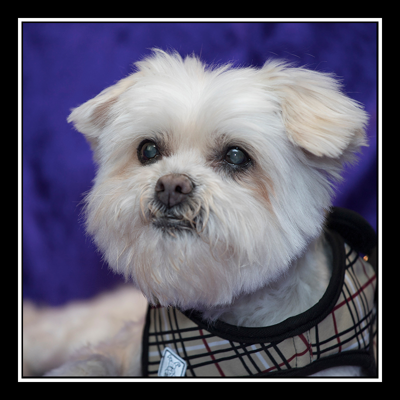 IMAGE: https://photos.smugmug.com/Pets/MALTESE-RESCUE-CALIFORNIA/i-cpfQwK6/0/9c0fe097/O/Tina_2337.jpg