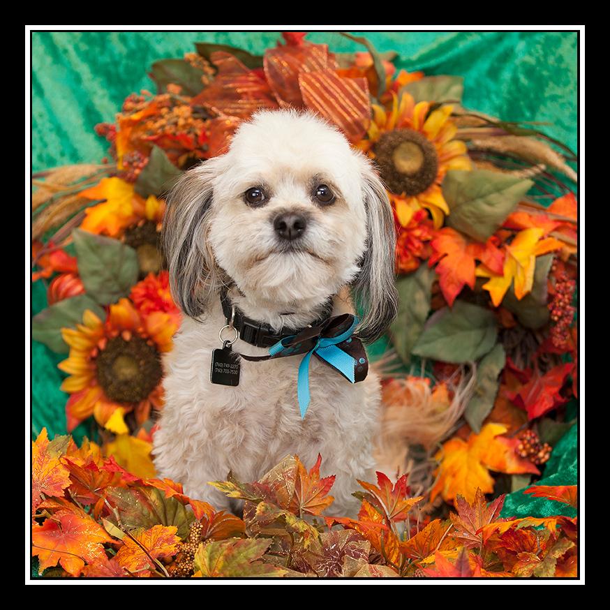 IMAGE: https://photos.smugmug.com/Pets/MALTESE-RESCUE-CALIFORNIA/i-d6F4mhC/0/fd6c1fec/O/OLIVER_7267.jpg