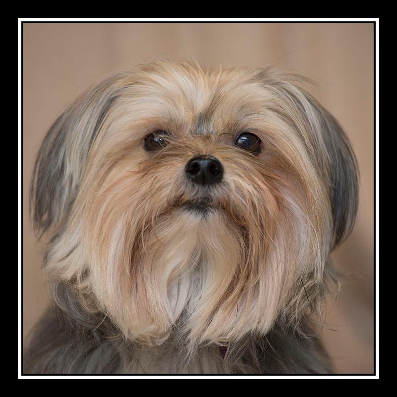 IMAGE: https://photos.smugmug.com/Pets/MALTESE-RESCUE-CALIFORNIA/i-d9Tzwp8/0/da105769/O/IZZY_3310.jpg