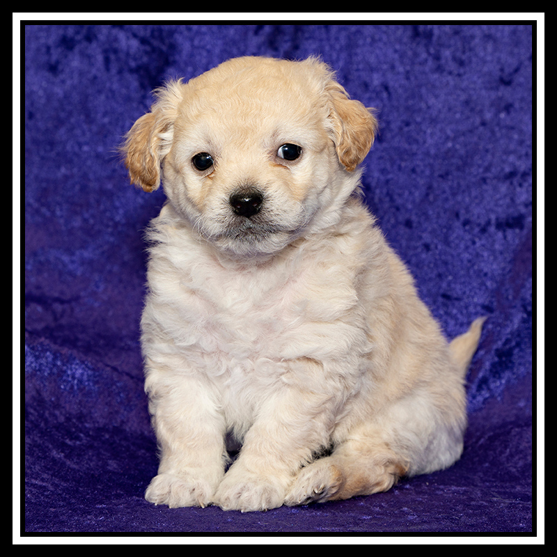 IMAGE: https://photos.smugmug.com/Pets/MALTESE-RESCUE-CALIFORNIA/i-ddxfLmf/0/bbea8359/O/Alexis%20Puppies_1692%20Andy.jpg