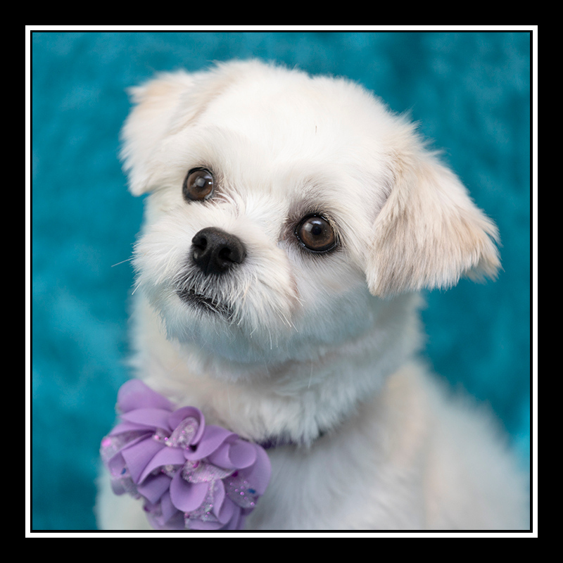 IMAGE: https://photos.smugmug.com/Pets/MALTESE-RESCUE-CALIFORNIA/i-f4bQ3xf/0/443a378e/O/SHERRIE_5211.jpg