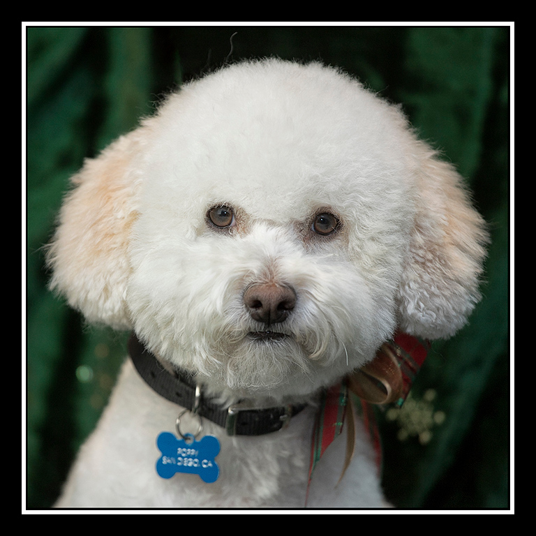 IMAGE: https://photos.smugmug.com/Pets/MALTESE-RESCUE-CALIFORNIA/i-g4hcksL/0/527b681d/XL/POPPY_1010-XL.jpg