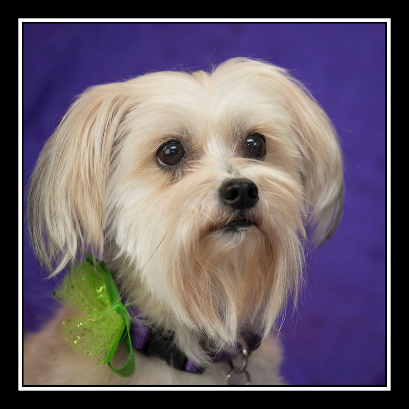 IMAGE: https://photos.smugmug.com/Pets/MALTESE-RESCUE-CALIFORNIA/i-nbZQWFm/0/8a3efb8d/O/SISSY_3287.jpg