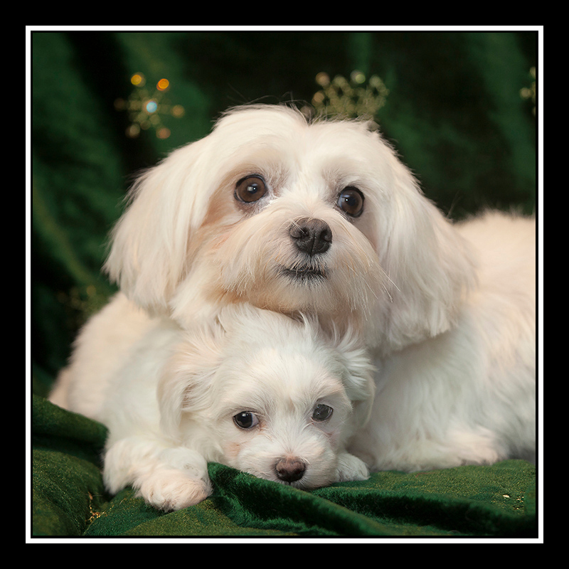 IMAGE: https://photos.smugmug.com/Pets/MALTESE-RESCUE-CALIFORNIA/i-pnCVqMc/0/39a61b50/O/Candy%20and%20Almond%20Joy_7450.jpg