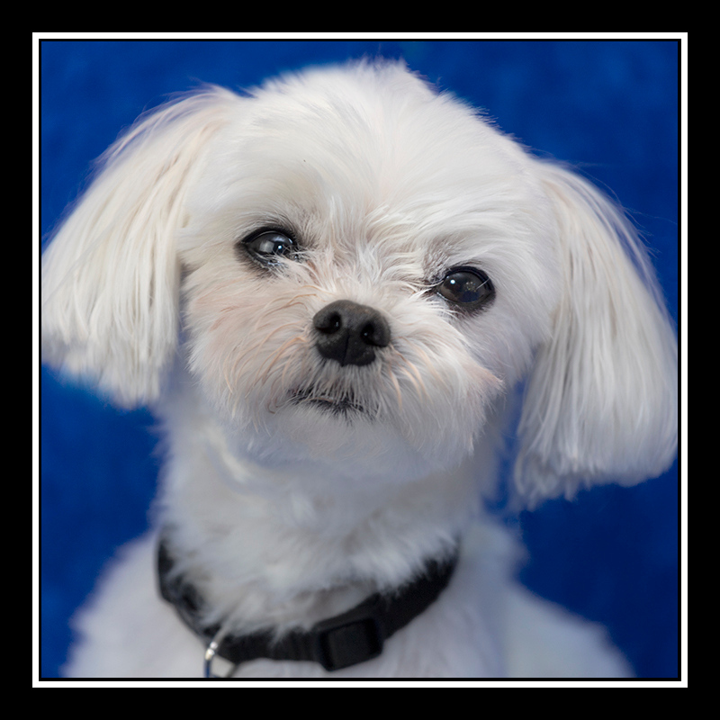 IMAGE: https://photos.smugmug.com/Pets/MALTESE-RESCUE-CALIFORNIA/i-r8mGpwx/0/829a3d52/O/BODIE_5232.jpg