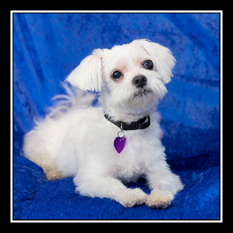 IMAGE: https://photos.smugmug.com/Pets/MALTESE-RESCUE-CALIFORNIA/i-rHfmCq5/0/b6a14459/O/HARRISON_6646.jpg
