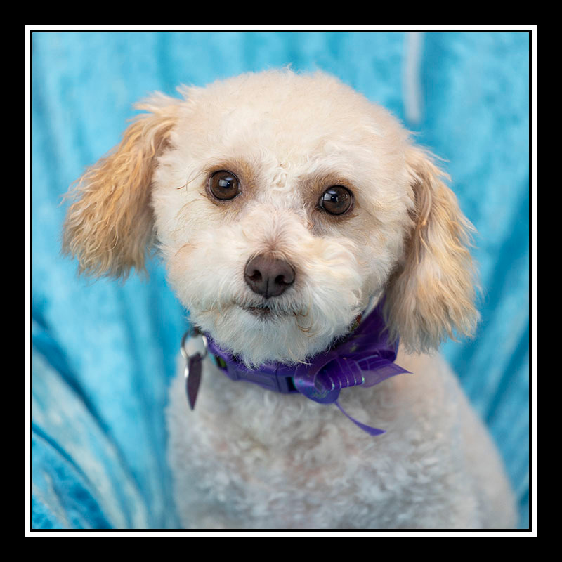 IMAGE: https://photos.smugmug.com/Pets/MALTESE-RESCUE-CALIFORNIA/i-rJFJrnR/0/ded06a5f/O/HARLO_6612.jpg