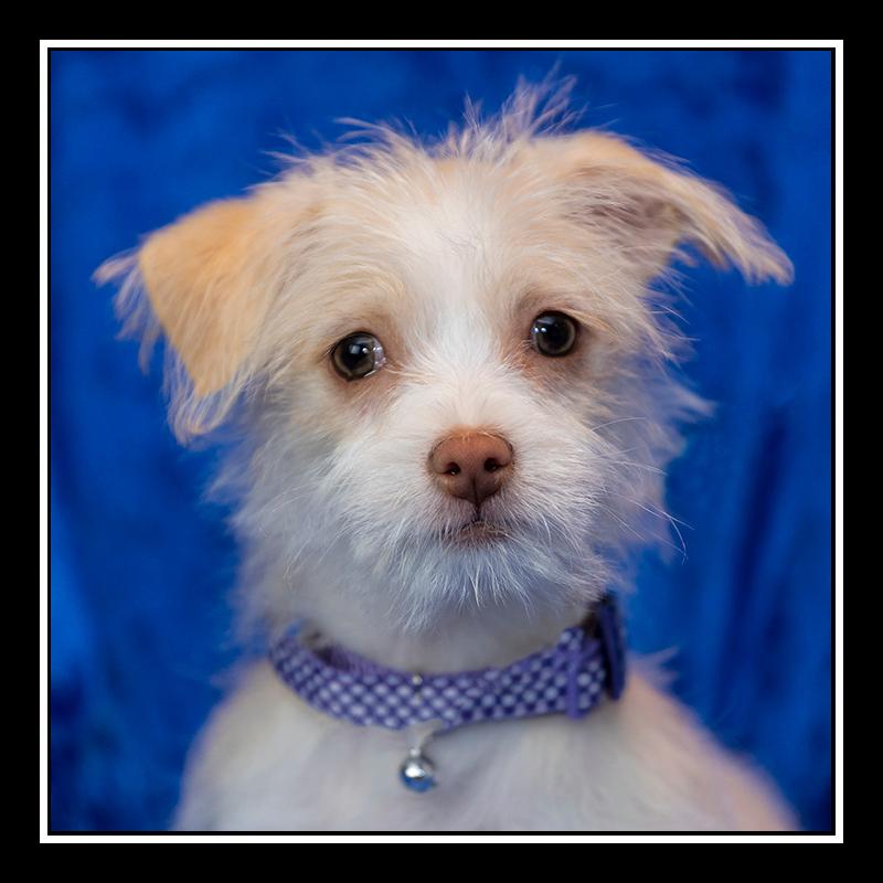 IMAGE: https://photos.smugmug.com/Pets/MALTESE-RESCUE-CALIFORNIA/i-wWXmzKW/0/2950bc9f/O/SKYLAR%20-%2020190112_8170.jpg