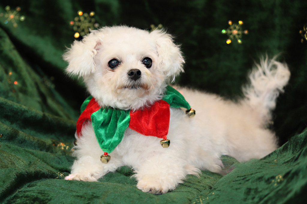 IMAGE: https://photos.smugmug.com/Pets/MALTESE-RESCUE-CALIFORNIA/i-z5wn9vP/0/f19121e8/XL/HOPE%20FOR%20PAWS_0974-XL.jpg
