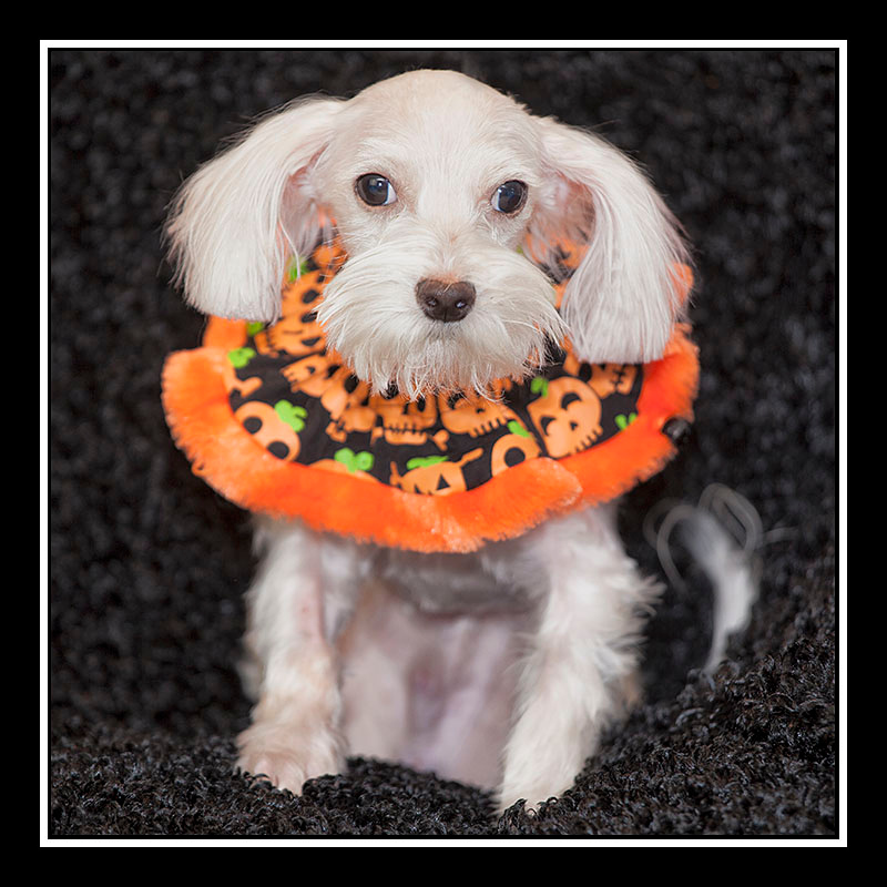 IMAGE: https://photos.smugmug.com/Pets/MALTESE-RESCUE-CALIFORNIA/i-zJdNm5h/0/5c6035f4/O/Kendall%2002.jpg