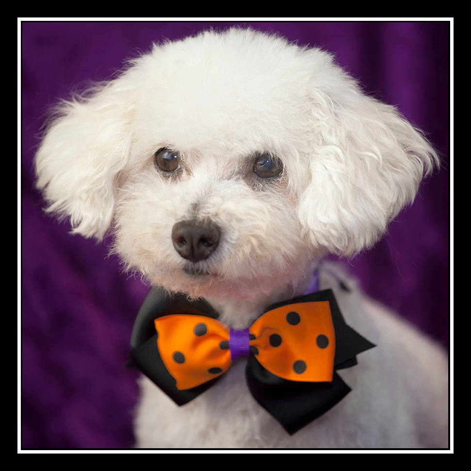 IMAGE: https://photos.smugmug.com/Pets/MALTESE-RESCUE-CALIFORNIA/i-zf5pD4T/0/8f51585f/O/Samantha_8543.jpg