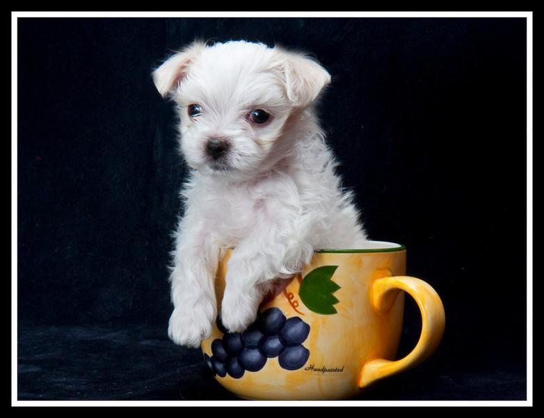 Tiny Tim - a Maltese rescue puppy.