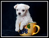 Tiny Tim - a Maltese rescue puppy.