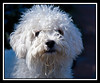 Jupiter, a young Malti-Poo (Maltese Poodle cross) on his arrival...