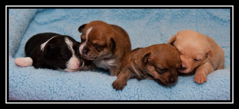 Malchi Puppy litter...