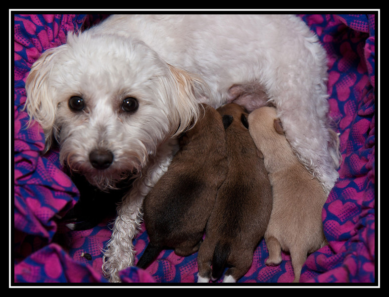 Leyla and her Malchi litter...
